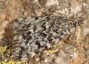 Orenaia alpestralis 06 1