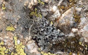 Orenaia alpestralis 06 2