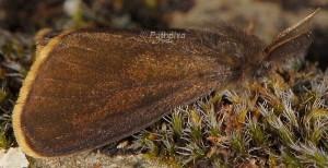 Orgyia aurolimbata 2