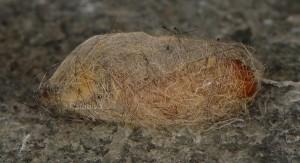 Orgyia trigotephras p 1