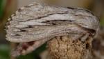 Pachypasa limosa (I, L5)