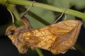 Panchrysia aurea 1