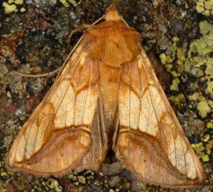 Panchrysia aurea)