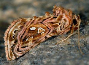 Panchrysia v-argenteum