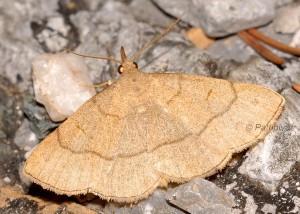 Paracolax tristalis 2