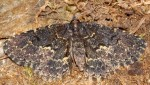 Parascotia fuliginaria (I)