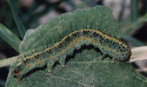 Pardoxia graellsi L5