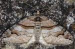 Pareulype berberata 05 1