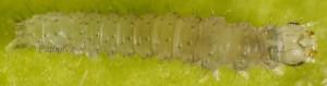 Pechipogo plumigeralis