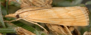 Pediasia subflavellus 2B 1