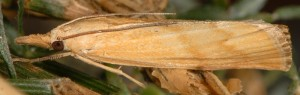 Pediasia subflavellus 2B 2