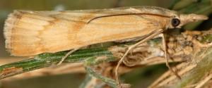 Pediasia subflavellus 2B 3