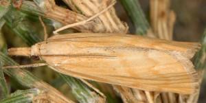 Pediasia subflavellus 2B 4