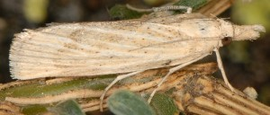 Pediasia subflavellus femelle 2B 1
