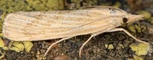 Pediasia subflavellus femelle 2B 2