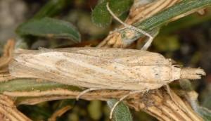 Pediasia subflavellus femelle 2B 3