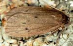 Pelosia obtusa (I)