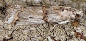 Pempelia albariella 06 1