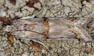 Pempelia albariella 06 2