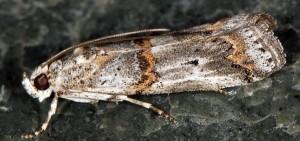 Pempelia albariella 06 3