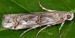 Pempelia palumbella 06 1
