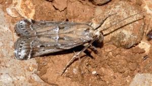 Pempeliella ardosiella 34 1