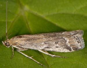 Pempeliella bayassensis 66 1