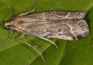 Pempeliella bayassensis 66 2