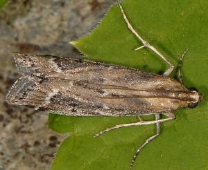 Pempeliella bayassensis 66 3