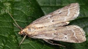 Pempeliella bayassensis 73 1