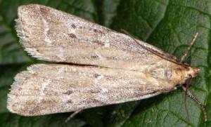Pempeliella bayassensis 73 3