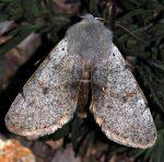Perigrapha rorida (I)