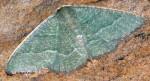 Phaiogramma etruscaria 34 2