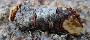 Phalera bucephala 2