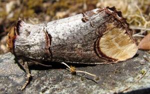 Phalera bucephala 4