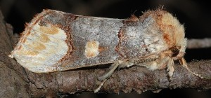 Phalera bucephaloides 1