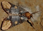 Phalera bucephaloides (I)