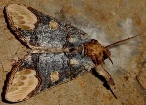 Phalera bucephaloides 2