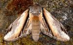 Pheosia tremula (I)