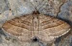 Phibalapteryx virgata 66 3