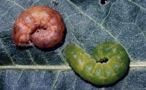 Phlogophora meticulosa L5