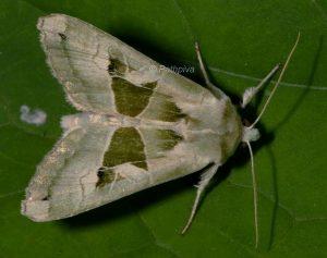Phlogophora scita