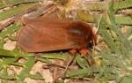 Phragmatobia fuliginosa (I)