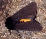 Phragmatobia luctifera (I, L5)
