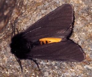 Phragmatobia luctifera 2