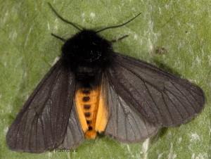 Phragmatobia luctifera 3