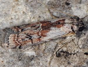 Phycita coronatella 06 2