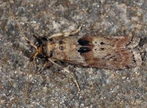 Phycita roborella 06 1