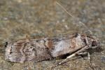 Phycita roborella 06 2