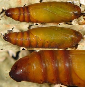 Phycita roborella chrysalide 2B 1